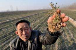 A Chinese farmer shows the dried vegetable seeds at his drought-striken fields