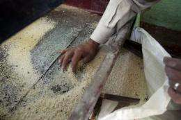 An Egyptian man checks his rice kernels at a mill in al-Ramlah village