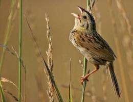 Biofuel grasslands better for birds than ethanol staple corn, researchers find