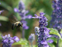 Bumble bees have died off at an astonishing rate over the past 20 years