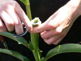 Doubled haploid technology for quickly developing inbred corn lines offered at ISU