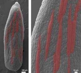 Flower organ's cells make random decisions that determine size