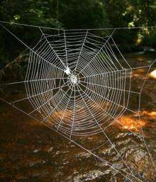 Giant spiders cast webs over river using super biomaterial