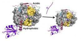 Key enzyme discovered to be master regulator in protein-protein reactions