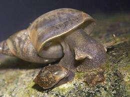 Lymnaea stagnails