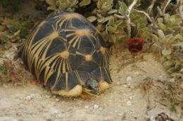 Madagascar's radiated tortoise threatened with extinction