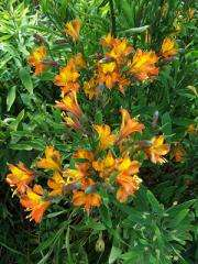 New 'lily' Tangerine Tango can jazz up summer gardens
