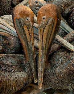 Oil covered brown pelicans found off the Louisiana coast and affected by the BP Deepwater Horizon oil spill
