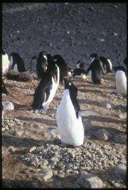 Penguin males with steady pitch make better parents