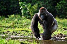 Saving gorillas, elephants starts with understanding their human neighbors