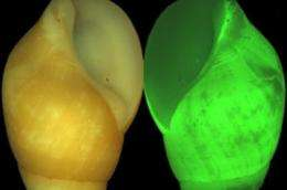 Scripps scientists see the light in bizarre bioluminescent snail