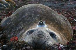 Seal bulls in the service of science