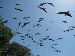 Smithsonian researchers find differences between Galapagos and mainland frigatebirds