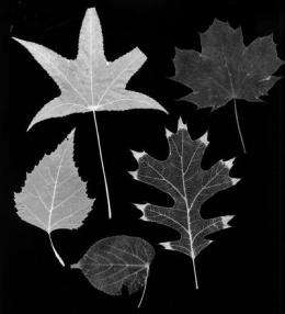 The lifeblood of leaves: Vein networks control plant patterns