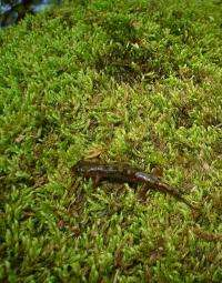 Young salamanders' movement over land helps stabilize populations