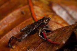 Three new amphibian treasures found on search for 'lost' frogs