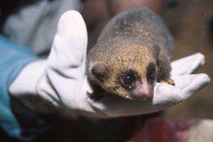 Only known living population of rare dwarf lemur found