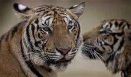 13 countries craft plan to save tigers (AP)