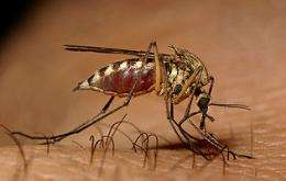 Researchers discover how west nile virus survives in mosquitoes