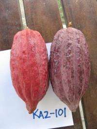 Chocolate farmers could benefit from newly sequenced cacao genome