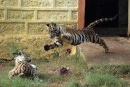 "Experts say the Bengal tiger is losing weight because of ""stress"" associated with environmental changes"