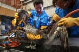 Veterinarians clean an oil-covered brown pelican