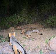Wild cats roam the Tucson Mountains