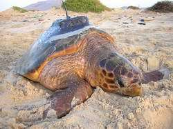 Not Only People Get Wireless, Turtles Too