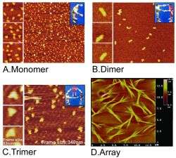 Atomic Force Microscope image showing pRNA as single strands folded into