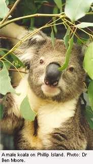 A koala's guide to the treetop buffet