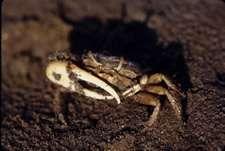 Photo of male California fiddler crab (Credit: Catherine deRivera)