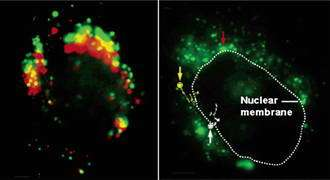 Nano-Probes Allow an Inside Look at Cell Nuclei
