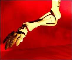 Skeleton bones from a dinosaur\'s foot