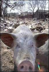 A Chinese pig