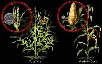 Scientists Trace Corn Ancestry from Ancient Grass to Modern Crop