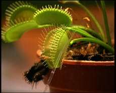 Discovery explains how the venus flytrap snaps