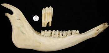 Ancient Bison Teeth Provide Window on Past Great Plains Climate, Vegetation