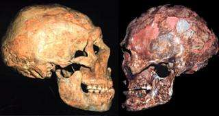 Modern Humans, not Neandertals, may be evolutions's 'odd man out'
