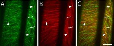 Formation of cellulose fibers tracked for the first time
