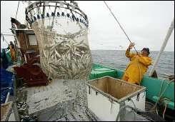 An Atlantic fisherman dumps his catch in the boat hold