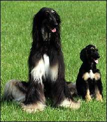"South Korea\'s first cloned dog, ""Snuppy""(R) is seen with his 'father' an Afghan hound"