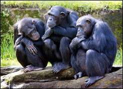 Three female chimpanzees