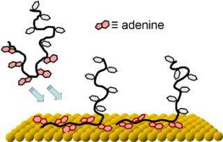 Adenine 'Tails' Make Tailored Anchors for DNA