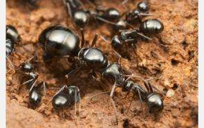 Ancient Ants Arose 140-168 Million Years Ago