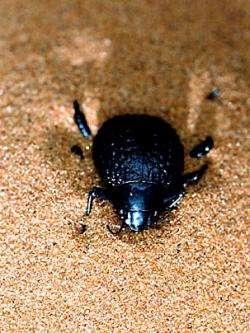 The Namib Desert beetle. Photo courtesy: Andrew Parker