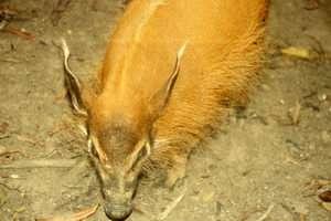 Bush Pig. Credit: S. Lahm, UCSD
