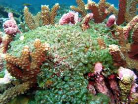 Coral Death Results from Bacteria Fed by Algae