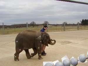Have you ever seen an elephant... run?