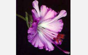 Brewer's clarkia flowers produce and emit more than 10 different volatiles