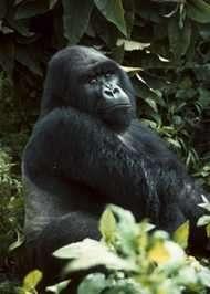 Gorilla. Photo courtsey Roger Birkel, The Baltimore Zoo.